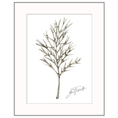 Silky Oak 1 is a fine line pen and ink drawing on paper by deGroot-Arts