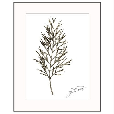 Silky Oak 2 is a fine line pen and ink drawing on paper by deGroot-Arts